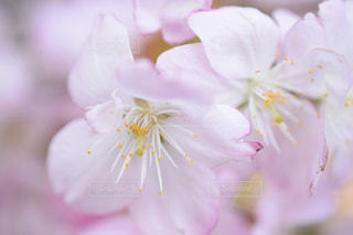 桜の写真・画像素材[2119747]