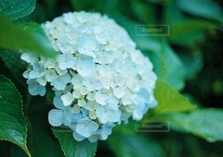 緑の植物のクローズアップの写真・画像素材[2119780]