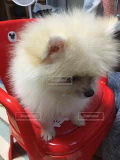 テーブルの上に座っている赤と白の犬の写真・画像素材[2109427]