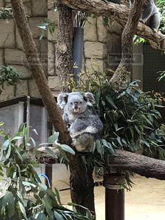 動物園のコアラの写真・画像素材[2116412]
