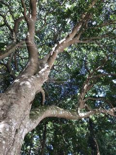何百年もの大樹の写真・画像素材[2123574]