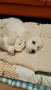 ベッドの上に横たわっている小さなホワイトゴールデンレトリバーの写真・画像素材[2110080]