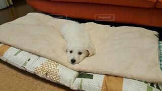 ベッドの上に横たわっている犬の写真・画像素材[2110105]