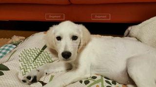 茶色と白の犬がベッドの上に横たわっているの写真・画像素材[2110111]