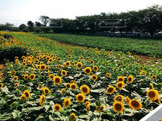 野原の黄色い花の写真・画像素材[2110360]