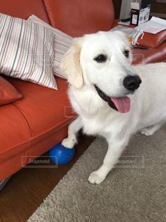 リビングルームに座っている茶色と白の犬の写真・画像素材[2111573]