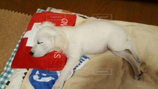 茶色と白の犬が床に横たわっているの写真・画像素材[2112166]