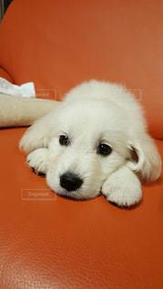 茶色と白の犬がテーブルの上に座っているの写真・画像素材[2112167]