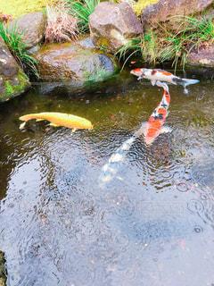 雨の中の鯉の写真・画像素材[2119224]