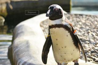 ペンギンのクローズアップの写真・画像素材[2111285]
