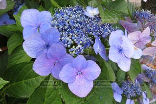 紫色の花のあじさいの写真・画像素材[2115615]