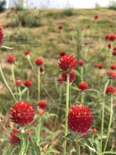 野原の赤い花の写真・画像素材[2117494]