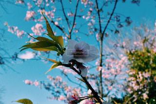 咲き始めの桜の写真・画像素材[3028273]