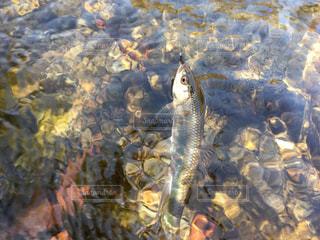 秋の清流で釣れた魚の写真・画像素材[2113371]