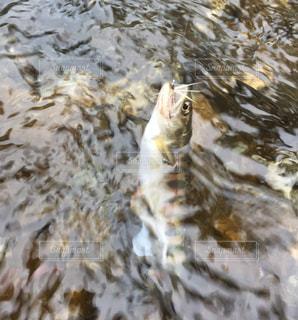 渓流で釣れたヤマメの写真・画像素材[2113409]
