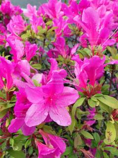 紫色の花の束のクローズアップの写真・画像素材[2122314]