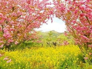 花見山の春の写真・画像素材[2113689]