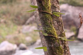 木と蔦と苔との写真・画像素材[2131985]
