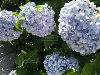 紫陽花の写真・画像素材[2149785]