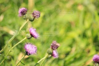 アザミの花の写真・画像素材[2152760]