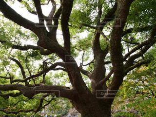 大きな木の写真・画像素材[2115011]