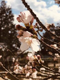 故郷の桜の写真・画像素材[2127263]