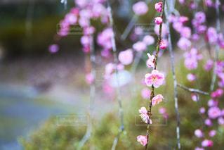 しだれ梅の写真・画像素材[2118496]