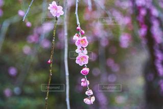 しだれ梅の接写の写真・画像素材[2118497]