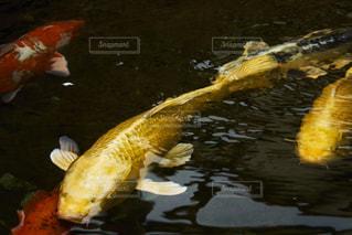 水中で泳いでいる鯉の写真・画像素材[2121263]