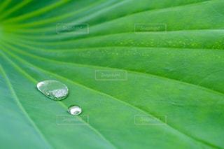緑の葉と水滴の写真・画像素材[2118449]
