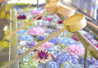 福岡県,春日神社のアジサイ手水舎の写真・画像素材[2250711]