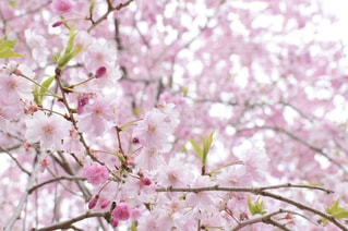 桜の写真・画像素材[2117376]