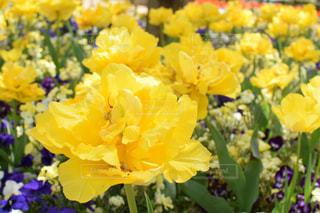 黄色い花のクローズアップの写真・画像素材[2117377]