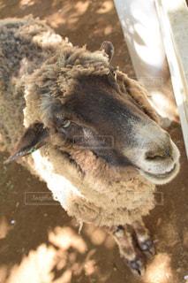 羊の写真・画像素材[2117385]