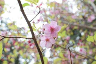 桜の写真・画像素材[2117434]