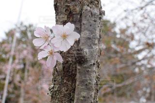 桜の写真・画像素材[2117435]