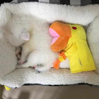 眠る白い子犬の写真・画像素材[2117471]