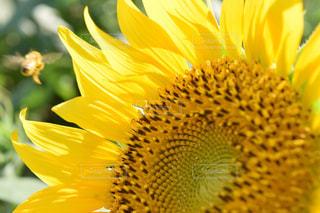 ひまわりと蜂の写真・画像素材[2117567]