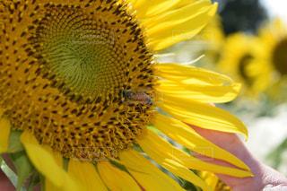 ひまわりと蜂の写真・画像素材[2117568]