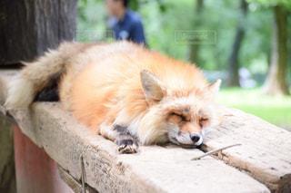眠る狐の写真・画像素材[2117911]
