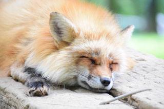 眠る狐の写真・画像素材[2117916]