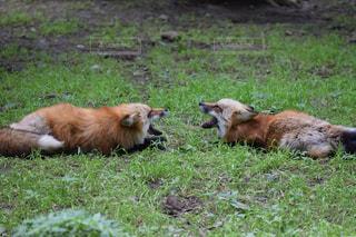二匹の狐の写真・画像素材[2117926]