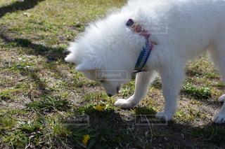 たんぽぽを見つめる子犬の写真・画像素材[2118404]