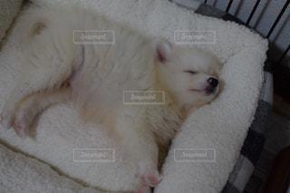 ベッドの上に横たわっている子犬の写真・画像素材[2121374]