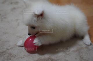 おもちゃで遊ぶ白い子犬の写真・画像素材[2121375]