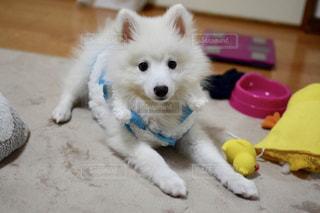 おもちゃで遊んでいる小さな白い犬の写真・画像素材[2121376]