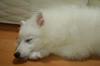 寝ている白い犬の写真・画像素材[2121380]