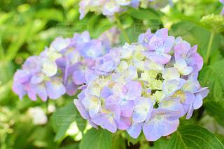 紫陽花の写真・画像素材[2220622]