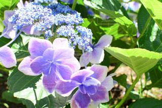 紫陽花の写真・画像素材[2220623]