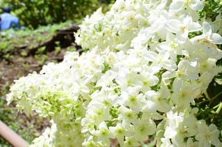 紫陽花の写真・画像素材[2220626]